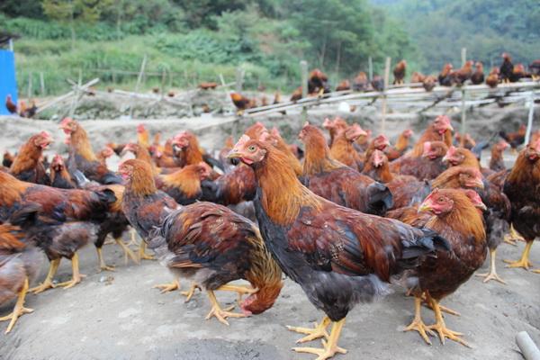 长期大量供应正宗高山散养献鸡阉鸡正宗走地鸡笨鸡大公鸡新鲜土鸡