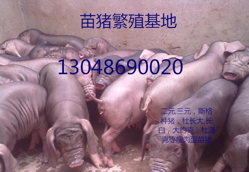 大连原种苏太母猪繁殖基地苏太母猪繁殖基地