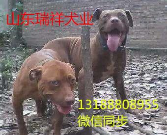 比特幼犬多少钱一只山东斗狗价格