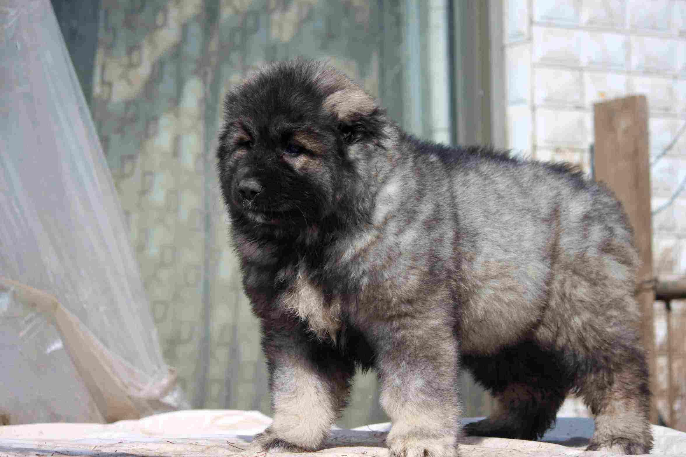 高加索幼犬多少钱一只山东高加索犬价格