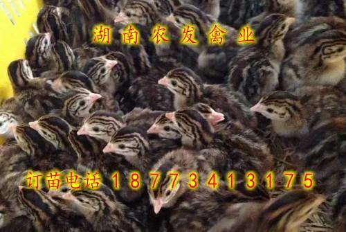 珍珠鸡苗厂价直销珍珠鸡鸡苗供应珍珠鸡鸡苗价格