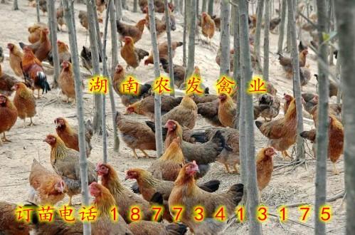 麻鸡苗哪里有卖麻鸡苗批发清远麻鸡苗价格清远麻鸡苗供应