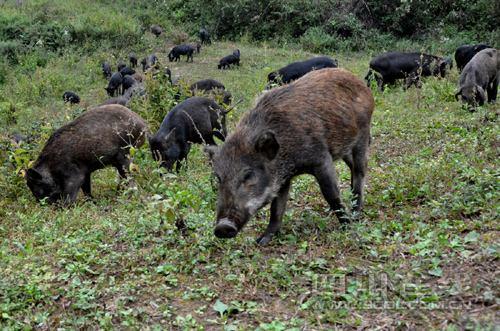 野猪价格野猪养殖场野猪多少钱一只