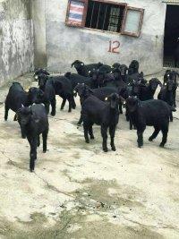 乌山羊其实就是黑山羊