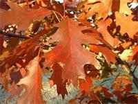 供应北美红栎 量大价优