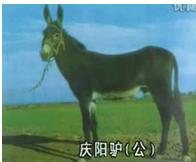 供应母驴 驴驹 公驴小驴 种驴 肉驴 商品驴
