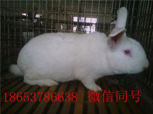 供应獭兔 肉兔 长毛兔 杂交野兔
