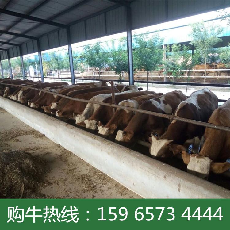 2017牛肉牛行情 三元杂交牛的养殖技术  养殖肉牛犊利润如何