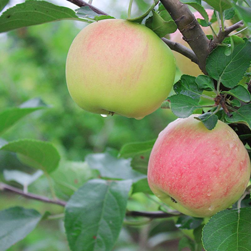供应早熟苹果