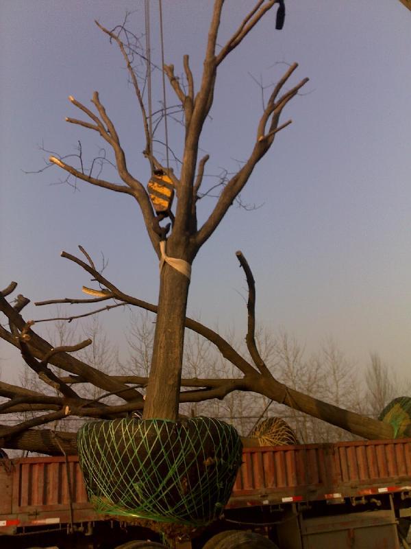 井研县35公分国槐树一年冒、苗木基地