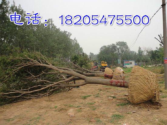 边坝县大国槐树价格、苗木基地