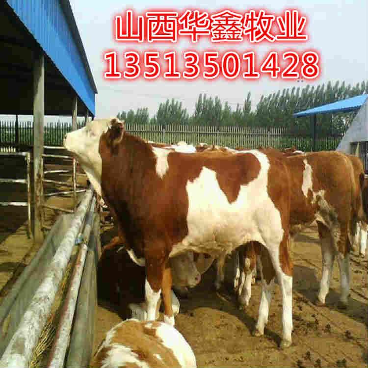 沙河种牛出售