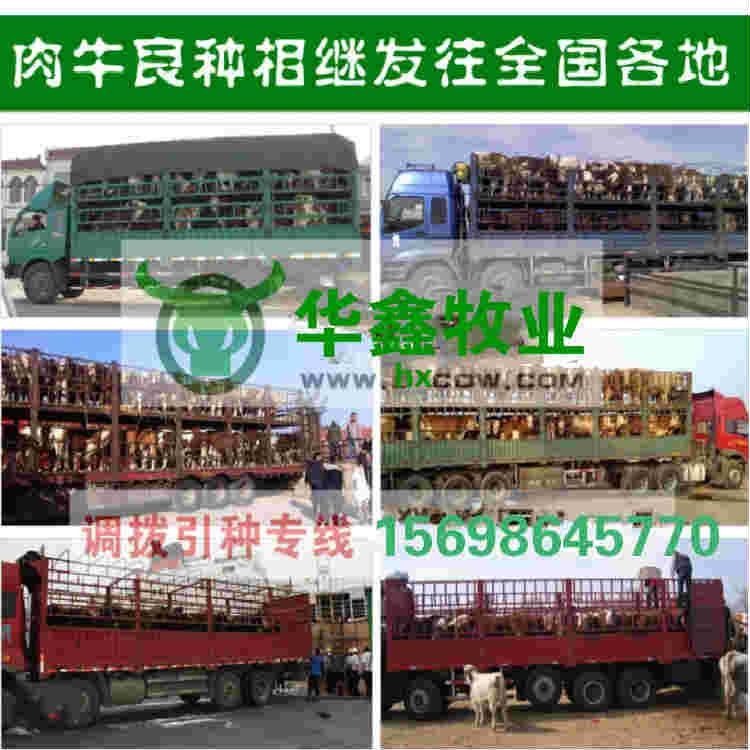 渭南哪里有卖鲁西黄牛的全国保送报销路费