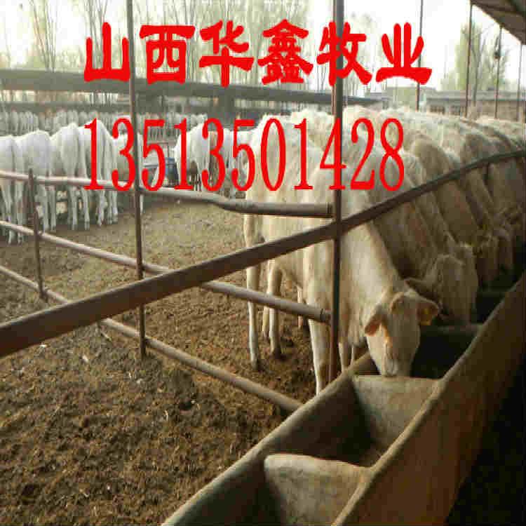 陇南养肉牛哪个品种好全国保送报销路费