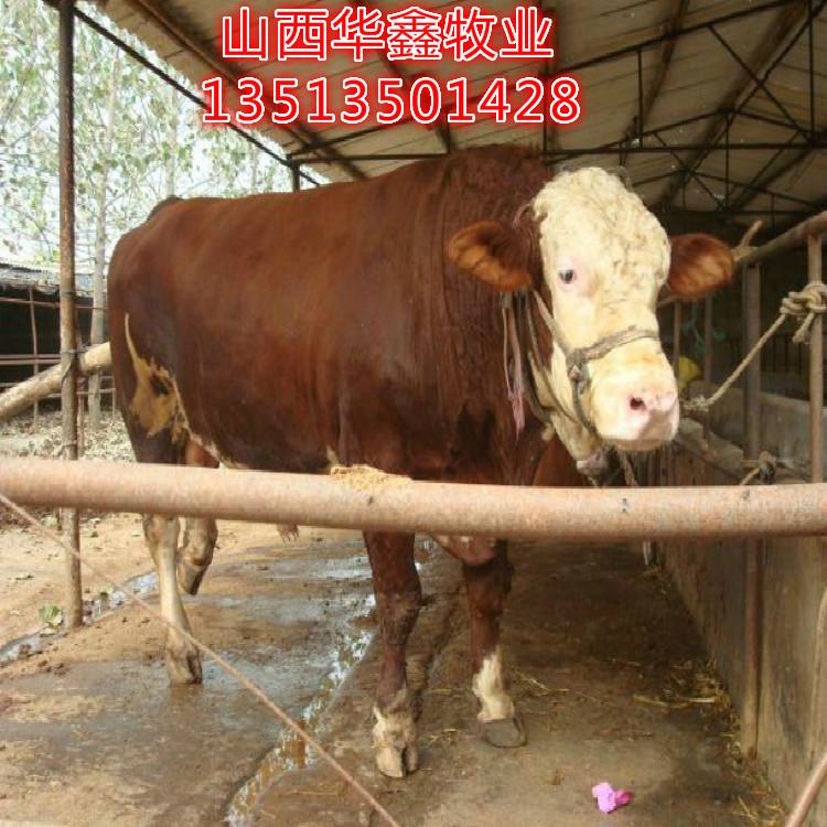 集安大型肉牛养殖场买牛有补贴