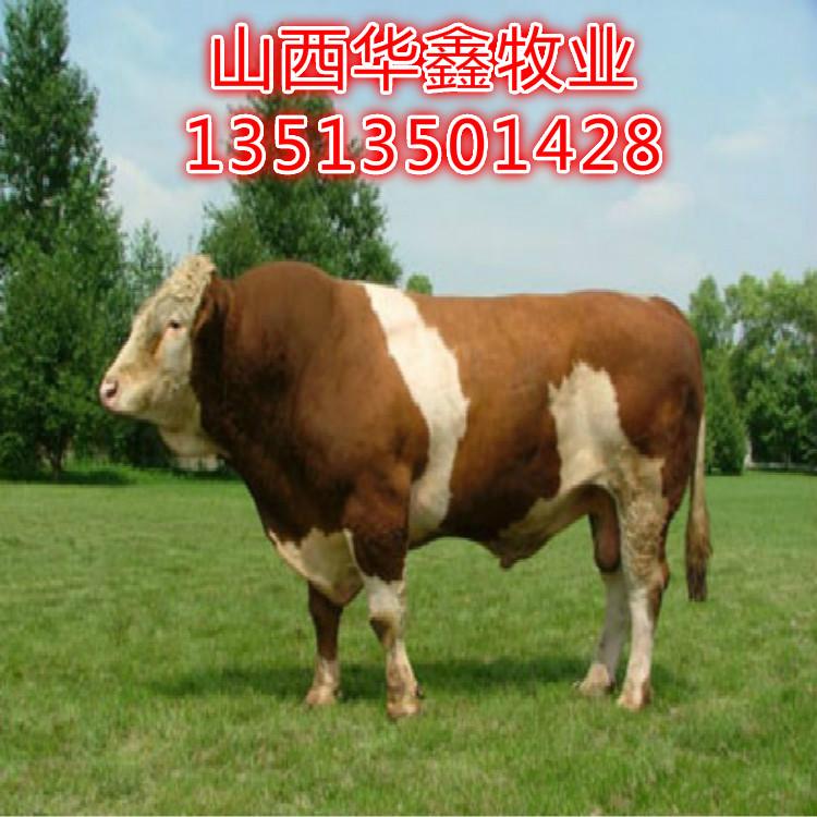 朝阳西门塔尔肉牛价格买牛有补贴