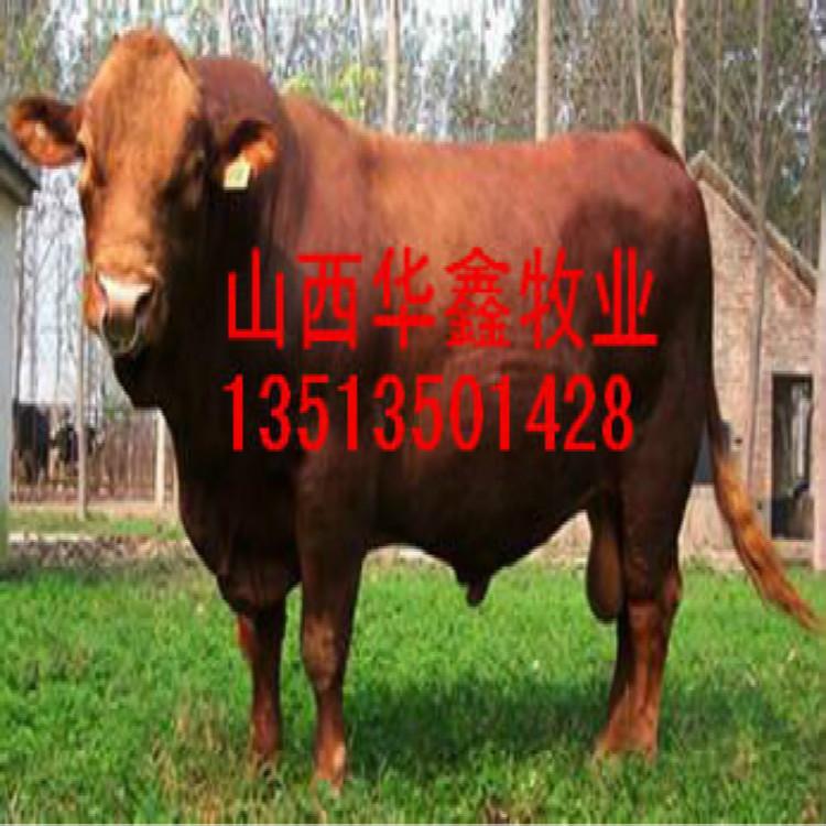 铁力种牛出售买牛有补贴