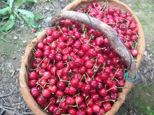 山东露地樱桃大量上市樱桃批发价格