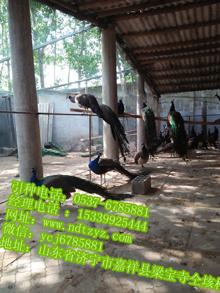 北京市哪里有卖孔雀的、孔雀多少钱一斤