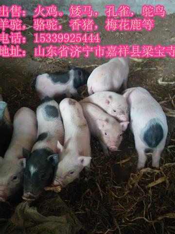 清远市出售小香猪8-15斤巴马香猪价格便宜