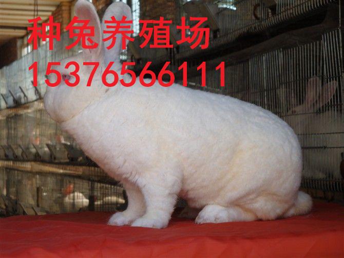 澄海比利时肉兔种兔价格低