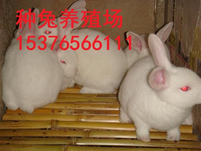 天津现在种兔多少钱一只