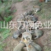 鄂州长期供应杂交野兔种兔