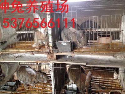 韶山市比利时肉兔价格品种纯正