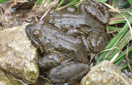 吉安新干县石蛙种苗哪里买