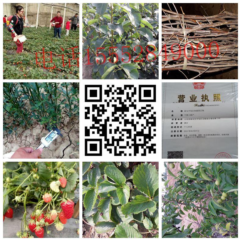南平章姬草莓苗厂家批发商