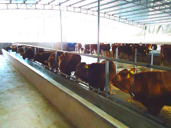 清水河县哪有卖改良肉牛犊的