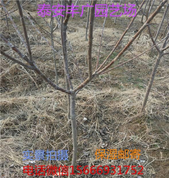 福密樱桃苗哪里出售