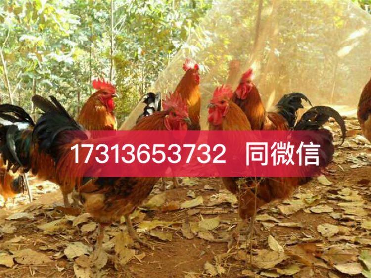 绵阳鸡苗、绵阳鸡苗批发价格、绵阳鸡苗批发基地