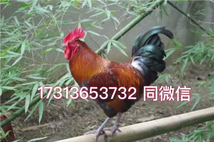 江油鸡苗、江油鸡苗批发、毛土鸡苗、绿壳蛋鸡、脚麻鸡苗