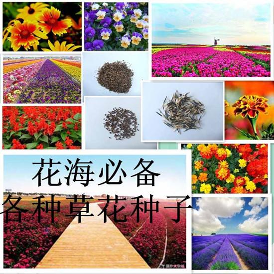 东港市景区花海种植首选高山紫苑种子