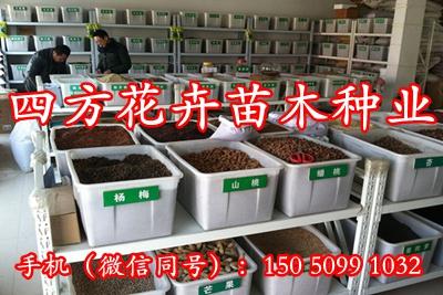 腊肠树种子价格种子销售种子供应