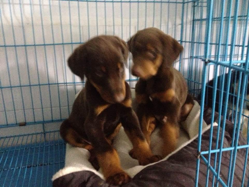 昆明买狗网昆明什么地方有纯种杜宾幼犬出售、本地狗场直销