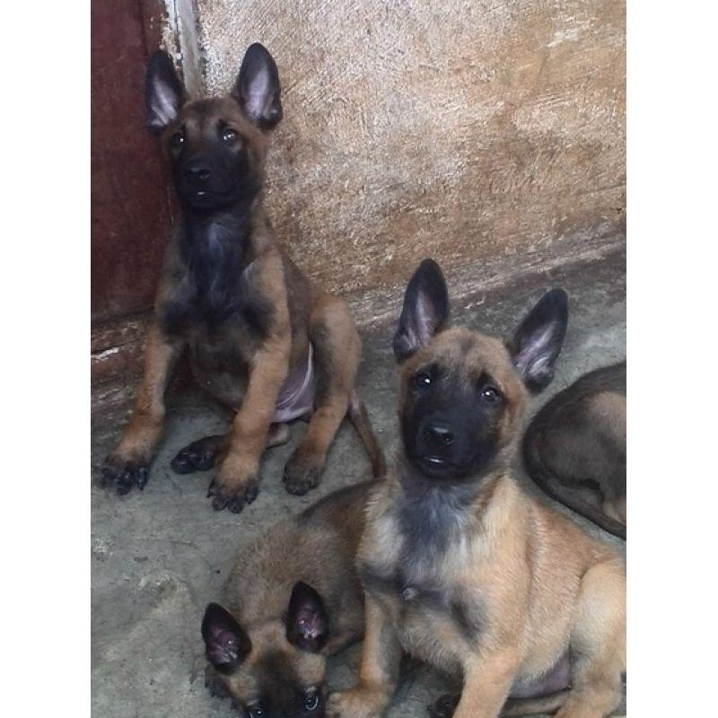 玉溪买纯种马犬去哪里买、纯种马犬幼犬多少钱、本地狗场转让纯种马犬