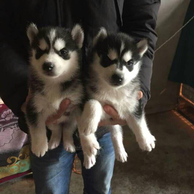丽江什么地方有纯种哈士奇幼犬卖、哈士奇幼犬什么价格、本地狗场转让纯种哈士奇幼犬
