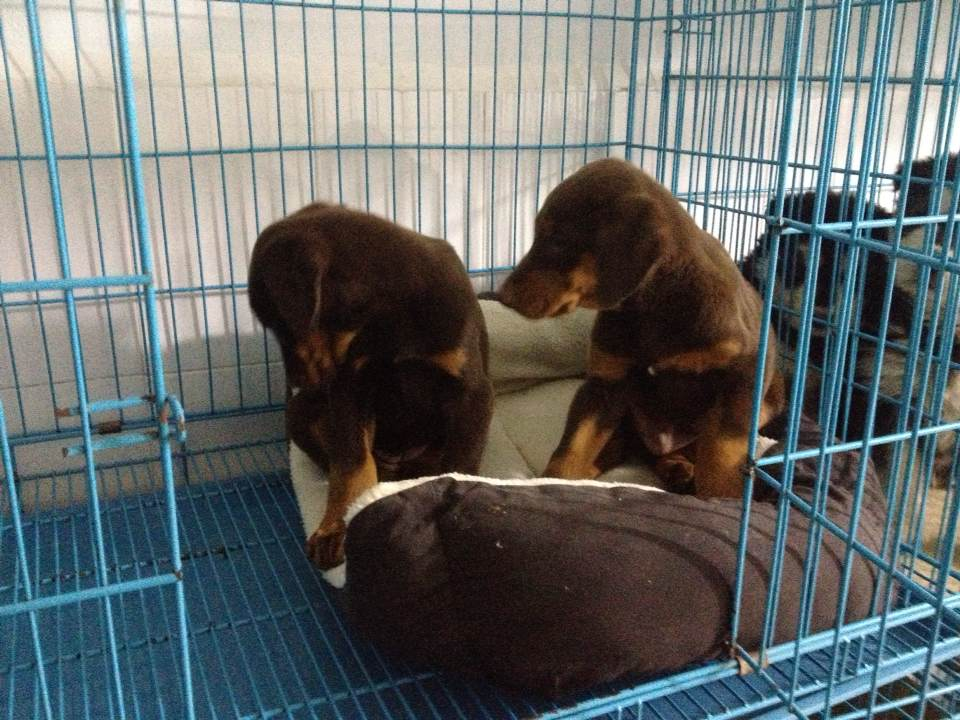 玉溪买狗玉溪买纯种杜宾犬什?#37255;?#26684;、纯种杜宾犬曲靖哪里有卖、狗场直销杜宾犬