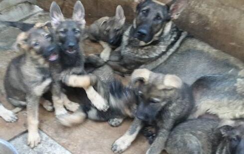 临沧哪里有纯种昆明犬出售、临沧哪里能买到纯种昆明犬幼犬、本地狗场直销