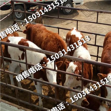 张北县肉牛养殖利润小牛崽价格牛犊价格供应信息
