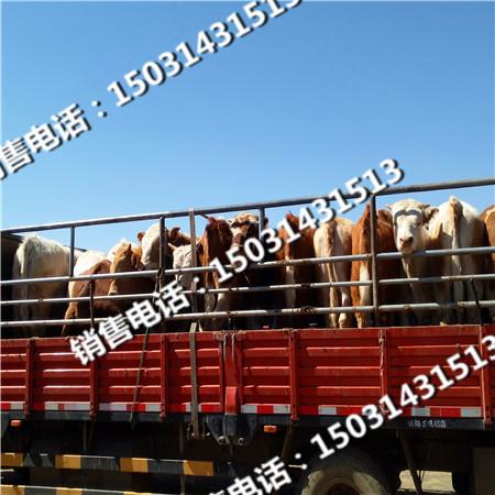 张北肉牛价格行情走势张北县黄牛市场