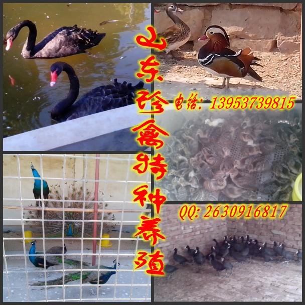 怎样养殖孔雀苗养殖技术孔雀苗养殖方法山东菏泽市单县养殖场