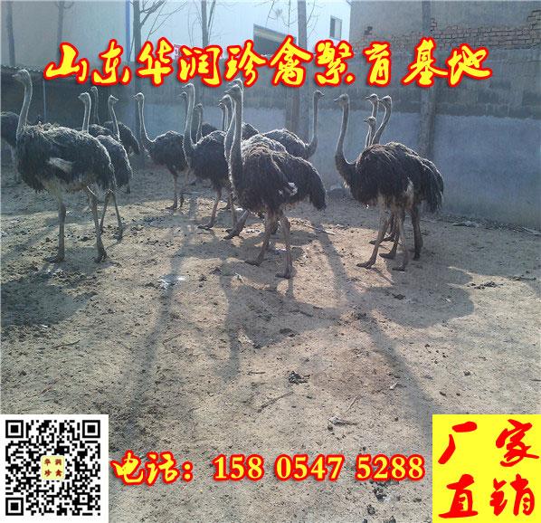 蛟河市哪里有三四个月的鸵鸟出售