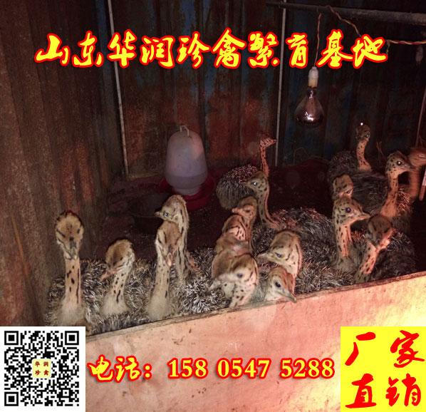 喀什市种鸵鸟多少钱