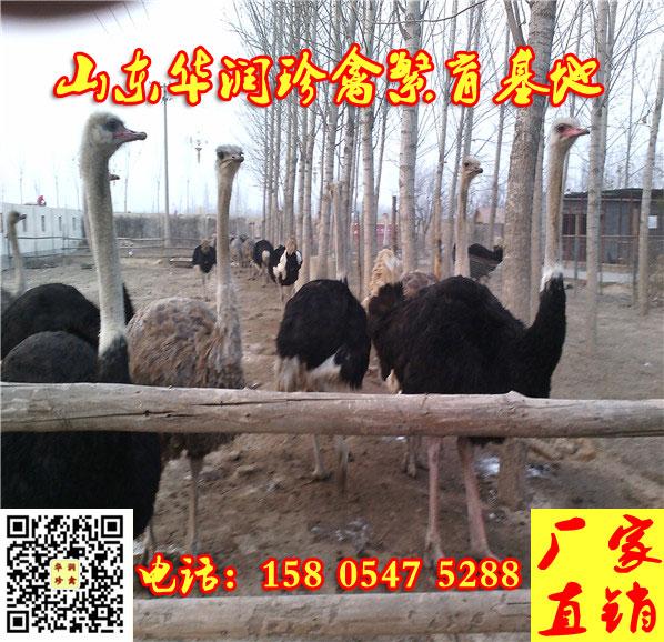 宜川县有卖非洲鸵鸟苗的没有