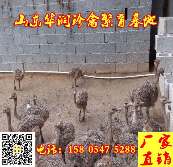 自贡市哪里有三四个月的鸵鸟出售