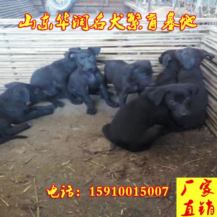 安徽宁国三个月的马犬价格是多少