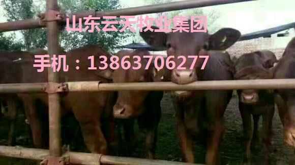 供应肉牛 种牛 育肥牛 架子牛 牛犊